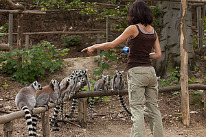 Animal trainer trains a group of lemurs who look up to her finger
