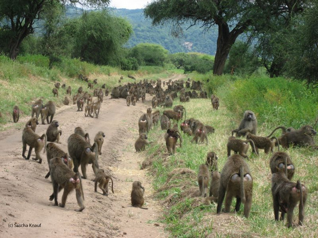 Conference of Olive Baboons