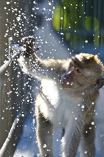 monkey plays with water tap; splashes of water